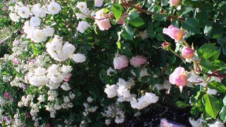 rose_2018_3.jpg