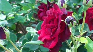 rose_2018_4.jpg